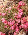 Harfordia macroptera.jpg