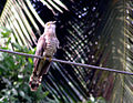 Hawk cuckooMSW.jpg