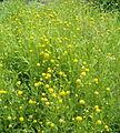 Helenium aromaticum Cephalophora aromatica BotGardBln07122011B.jpg