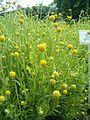 Helenium aromaticum Cephalophora aromatica BotGardBln07122011C.JPG