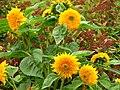 Helianthus annuus (cultivar) 01.jpg