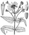 Helianthus divaricatus BB-1913.png