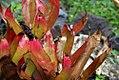 Heliconia psittacorum Sassy 1zz.jpg