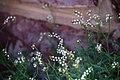 Heliotropium ovalifolium-3557 - Flickr - Ragnhild & Neil Crawford.jpg