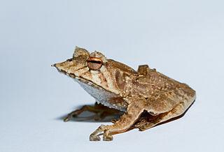 <i>Hemiphractus fasciatus</i> Species of frog
