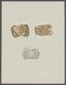 Hepatus spec. - - Print - Iconographia Zoologica - Special Collections University of Amsterdam - UBAINV0274 096 05 0003.tif
