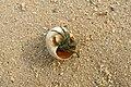 Hermit crab in seashell, Phang Nga Bay, Thailand.jpg