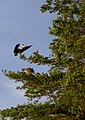 Herons in the Tree Top - geograph.org.uk - 1408263.jpg