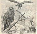 Heubach golden eagle.jpg