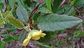 Hibbertia dentata leaf (15496182944).jpg