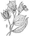 Hibiscus moscheutos L. Crimsoneyed rosemallow.tiff