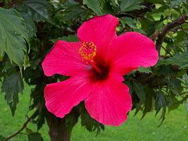 Hibiskus rosa-sinensis - Kwiat.JPG