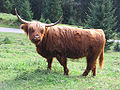 Highland-cattle 1.jpg