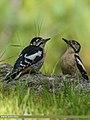 Himalayan Woodpecker (Dendrocopos himalayensis) (28319703031).jpg