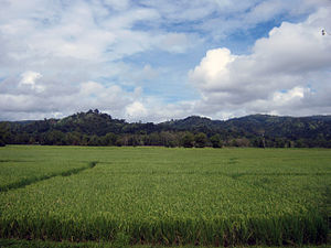 Rice field in Hinoba-an, Negros Occidental, Ph...
