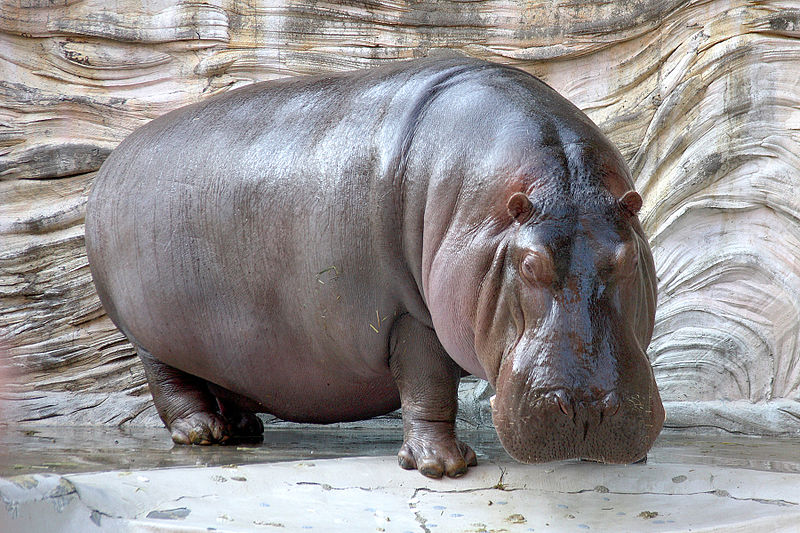 Hippopotamus the animal. Hippo = Highly Paid Person's Opinion