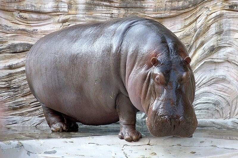 File:Hippopotamus - 04.jpg