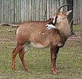 Hippotragus equinus cottoni - Buffalo Zoo.jpg