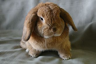 Pet - A rabbit