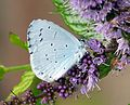 Holly Blue on mint flowers - Flickr - gailhampshire.jpg