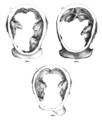 Homo erectus skull cross-section.png