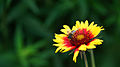 Honey Bee (7166099377).jpg