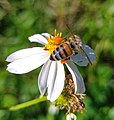 Honey bee pollinating a flower.jpg