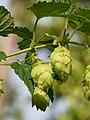Hop (Humulus lupulus) (28820876364).jpg