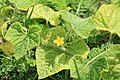 Horngurke - Kiwano - Cucumis metuliferus im Garten, flach 10 ies.jpg