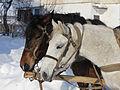 Horses closeup 2012 G3.jpg