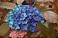 Hortensia bleu jardin de Shamrock.jpg