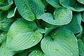 Hosta Plante.jpg