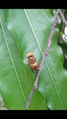 Hoverfly (Eristalinus sp), West Borneo, Indonesia.png