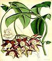 Hoya imperialis.jpg