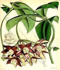 Hoya imperialis