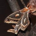 Hyalophora cecropia (cecropia moth) 2 (17258169721).jpg