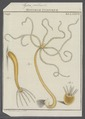 Hydra pallens - - Print - Iconographia Zoologica - Special Collections University of Amsterdam - UBAINV0274 111 13 0015.tif