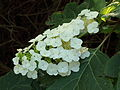 Hydrangea quercifolia (eikenbladhortensia).JPG