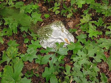 Hydrophyllum canadense SCA-04197.jpg