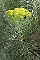 Hymenolepis parviflora, Jan Celliers Park.jpg