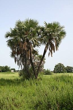 Дум пальма