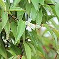 IMG 7312-Begonia oxyanthera.jpg