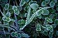Ice on grass leaves (6564832061).jpg