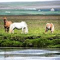 Iceland Horses Summer.jpg