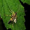 Ichneumon Wasp (30922092814).jpg
