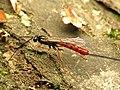 Ichneumon Wasp (34278540872).jpg
