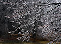 Icy Swamp Maple, Boxborough, Massachusetts, 2008.jpg