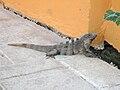 Iguana - Quintana Roo - México 3.jpg