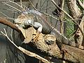Iguana iguana, Zoo de Vincennes 03.JPG