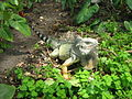 Iguana iguana colombia.jpg